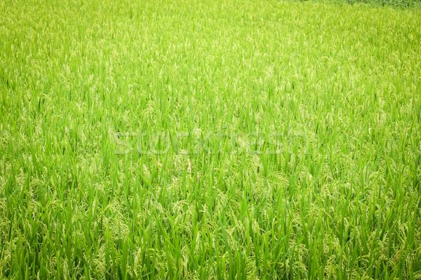 Vers rijstveld groene achtergrond zomer plant Stockfoto © Juhku