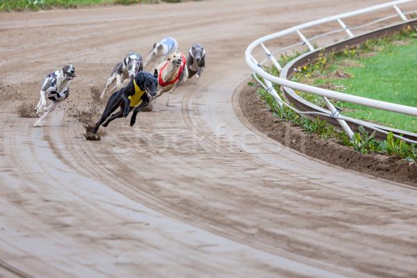 Galgo perros carreras arena tema perro Foto stock © Juhku