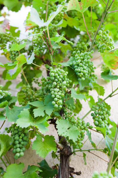 Grapes in vine Stock photo © Juhku