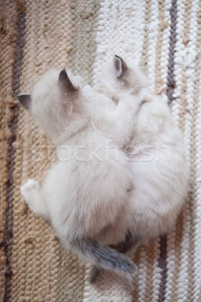 White sacred birman kittens Stock photo © Juhku