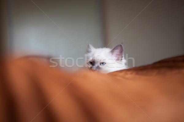 Sacred birman cat lying in bed hiding Stock photo © Juhku