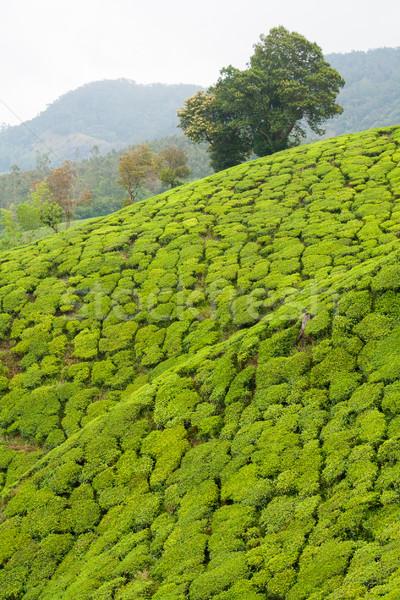 Stockfoto: Thee · Indië · bewolkt · dag · landschap · blad