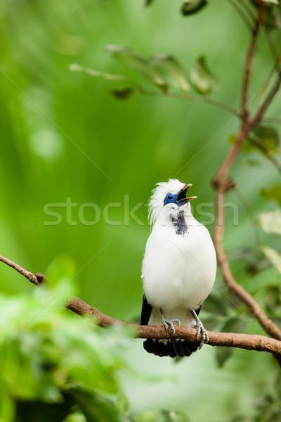 White exotic bird on a branch singing Stock photo © Juhku