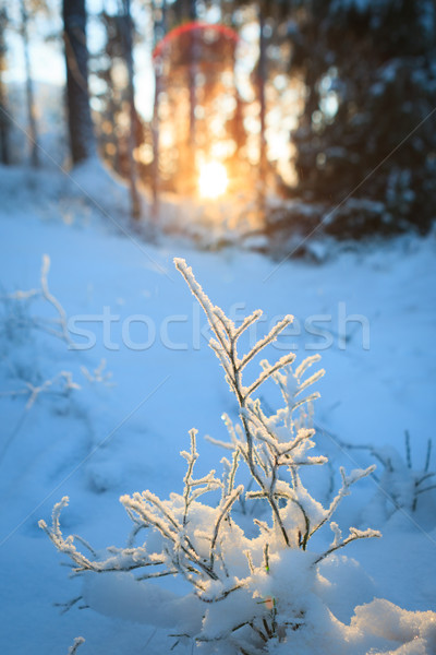 Frozen blueberry twig in last warm sunlight of the day Stock photo © Juhku