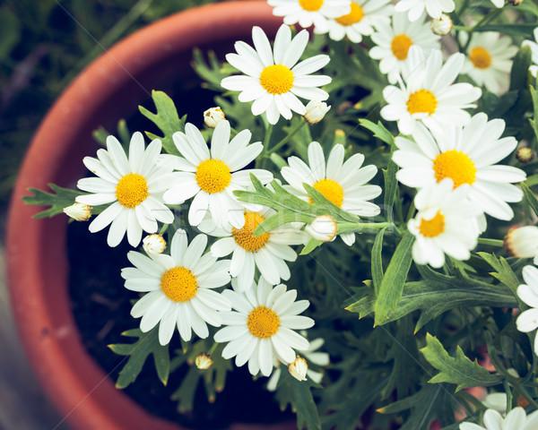 ヒナギク ポット ホーム 庭園 春 ストックフォト © Juhku