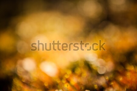 vegetation in forest at sunset blurred background Stock photo © Juhku