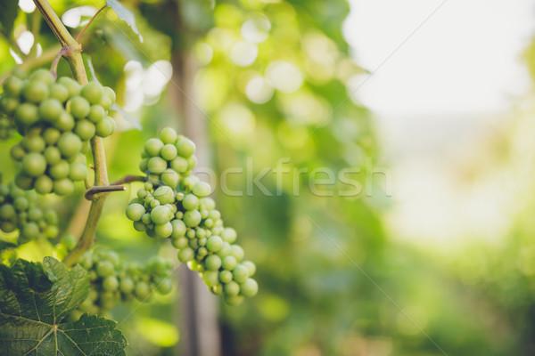 ストックフォト: ブドウ · つる · 日照 · 太陽 · 葉 · 庭園