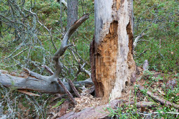 Marcio morti legno albero foresta Finlandia Foto d'archivio © Juhku