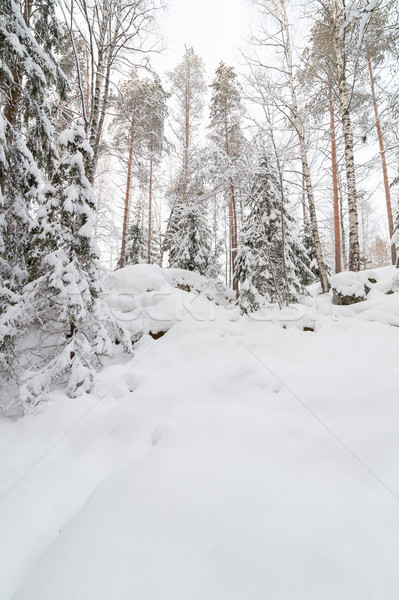 Trees in snow covered forest Stock photo © Juhku
