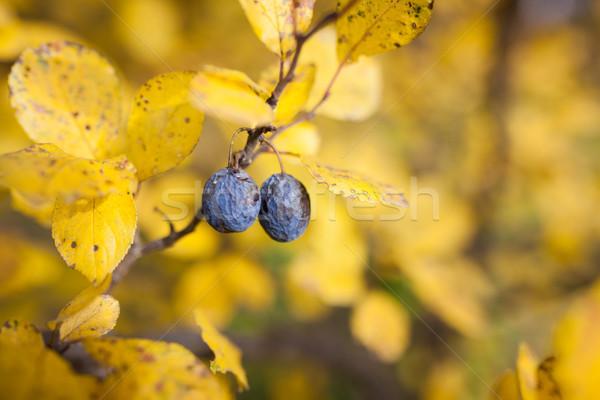 Overripe plums in tree Stock photo © Juhku