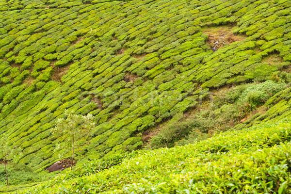 Thee Indië bewolkt dag natuur landschap Stockfoto © Juhku