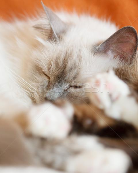 Kettő aranyos macskák alszik szent zárt Stock fotó © Juhku