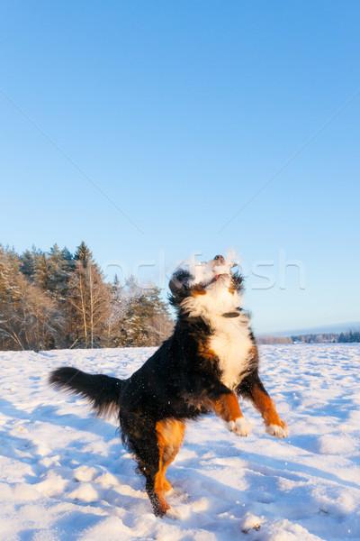 Kutya hógolyó játékos berni pásztorkutya boldog hegy Stock fotó © Juhku