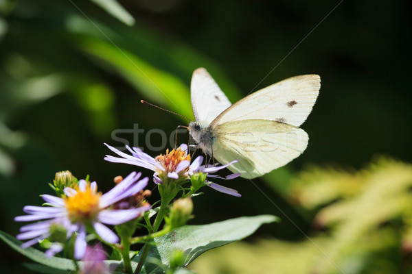 Butterfly and flower in summer nature Stock photo © Juhku