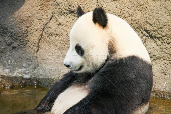 Foto stock: Gigante · panda · sessão · água · banho