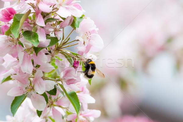 マルハナバチ リンゴの木 花 自然 ツリー リンゴ ストックフォト © Juhku