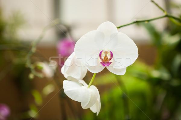Orquídea flores belo flor natureza beleza Foto stock © Juhku