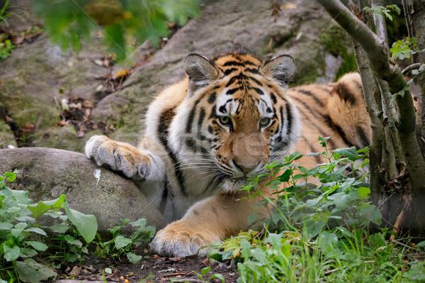 тигр лице кошки зоопарке улице живая природа Сток-фото © Juhku