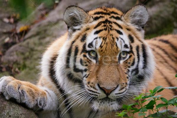 Siberian tiger panthera tigris altaica Stock photo © Juhku