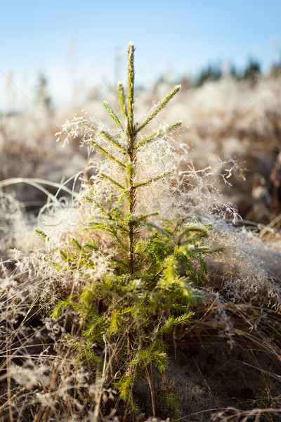 小 スプルース 霜 乾草 午前 太陽 ストックフォト © Juhku