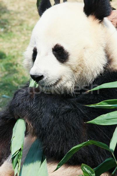 Panda yeme bambu dev ağaç yaprakları Stok fotoğraf © Juhku