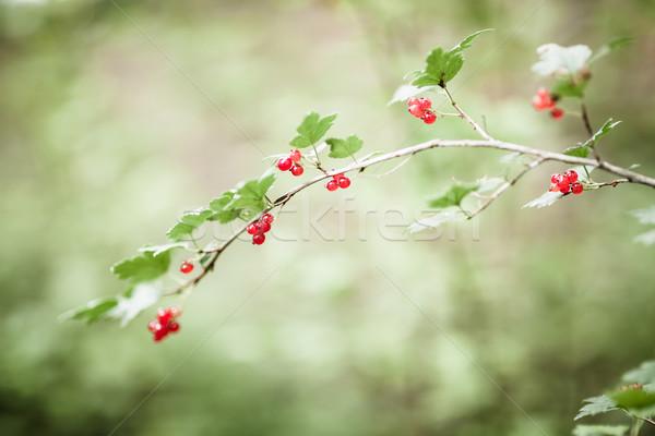 Bayas rojo alimentos forestales hoja Foto stock © Juhku