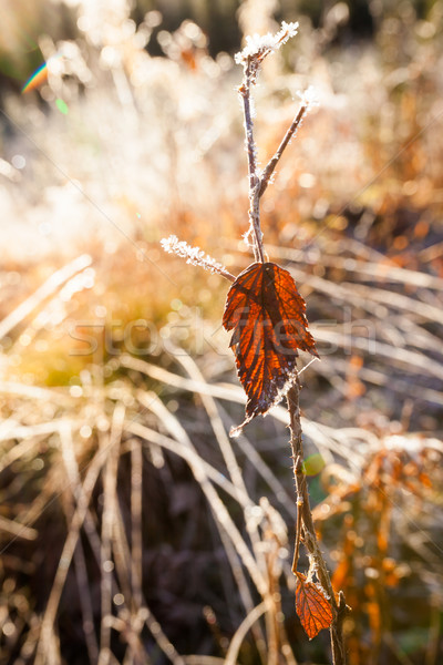 Backlit red leaf and frost close-up  Stock photo © Juhku