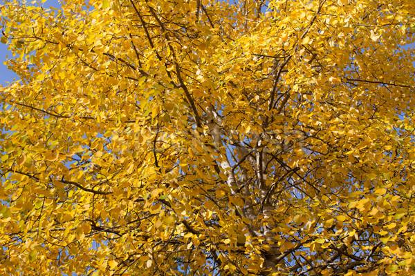 Yellow aspen foliage at autumn Stock photo © Juhku