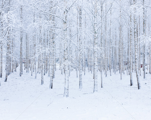 Birch wood forest covered in snow Stock photo © Juhku