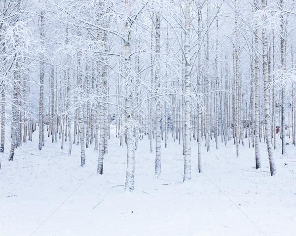Nyírfa fa erdő fedett hó tél Stock fotó © Juhku