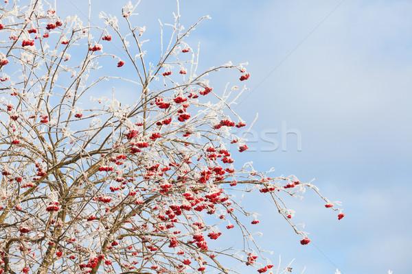 Rowan berries at winter Stock photo © Juhku