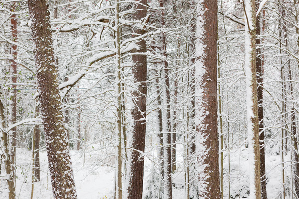 Snow covered tree trunks in forest Stock photo © Juhku