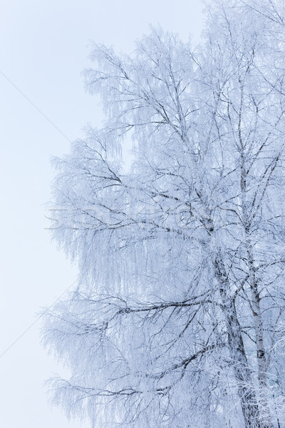 Birch tree covered in snow Stock photo © Juhku