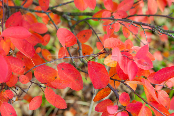 élénk piros levelek őszi levelek fa természet Stock fotó © Juhku