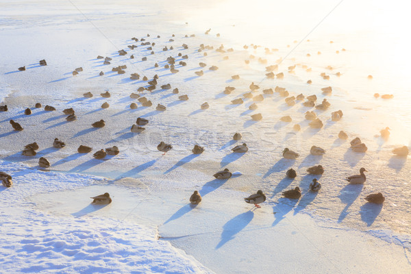 Ducks on ice freezing cold morning Stock photo © Juhku
