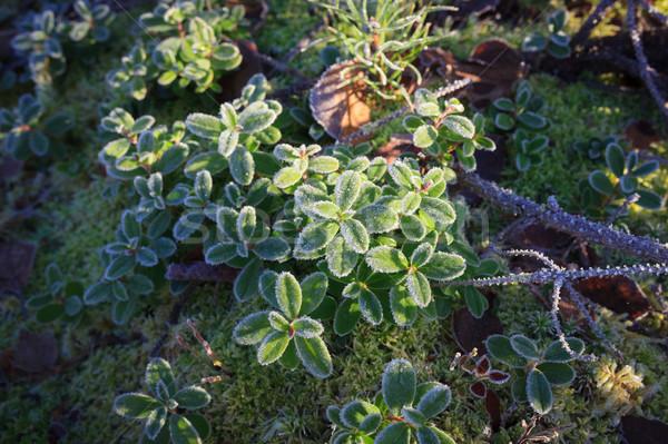 Frosty lingonberry twigs Stock photo © Juhku