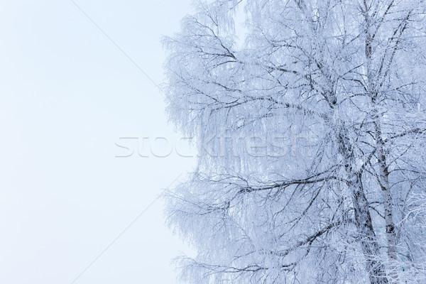 Huş ağacı ağaç kapalı kar kış don Stok fotoğraf © Juhku