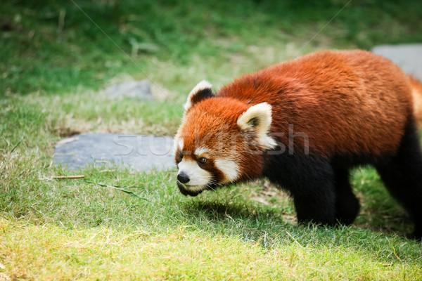Red panda walking on grass Stock photo © Juhku