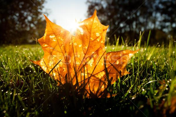 Foto stock: Maple · leaf · grama · nascer · do · sol · luz · manhã · árvore
