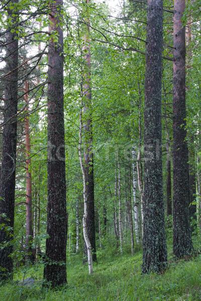 лес Финляндия лет вечер пейзаж парка Сток-фото © Juhku
