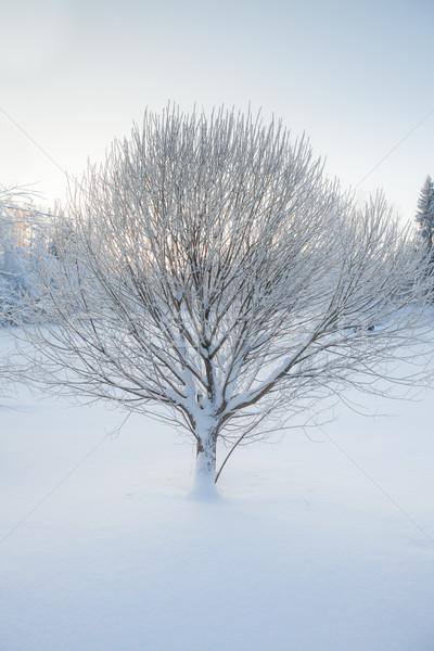Mroźny drzewo zimą dziedzinie krajobraz tle Zdjęcia stock © Juhku