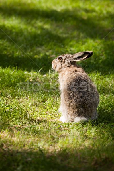 Brown hare sitting in grass Stock photo © Juhku