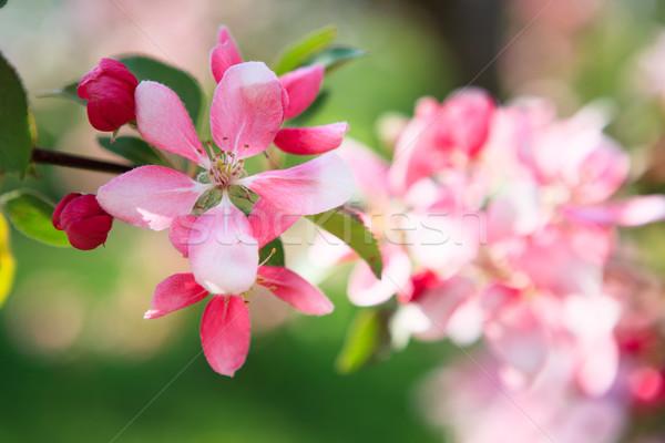 Beautiful apple tree flowers Stock photo © Juhku