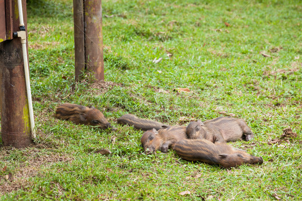 Baby wild boars sleeping on grass Stock photo © Juhku