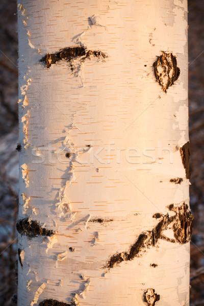 Huş ağacı gün batımı ışık kış ağaç Stok fotoğraf © Juhku