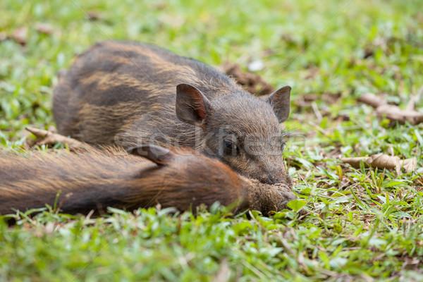 Baby wild boars sleeping on grass Stock photo © Juhku