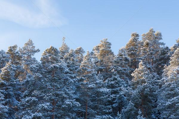 Neige couvert hiver forêt ciel bleu nature Photo stock © Juhku