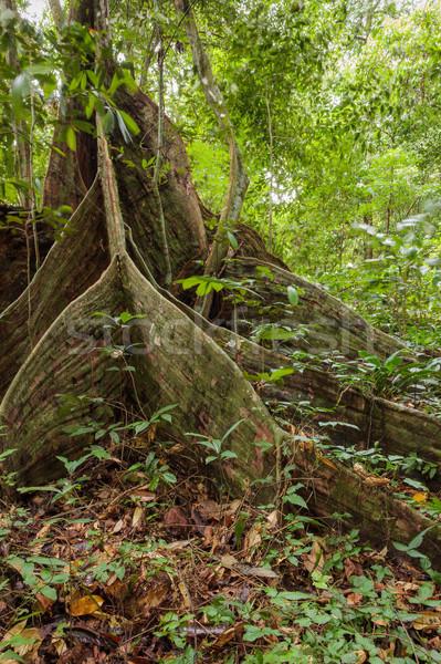 Buttress tree roots in rainforest Stock photo © Juhku