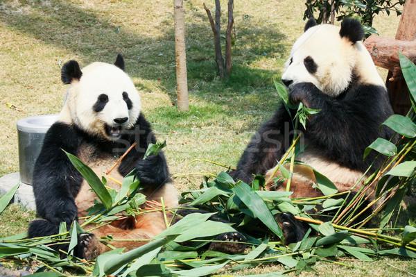 2 食べ 竹 巨人 家族 葉 ストックフォト © Juhku
