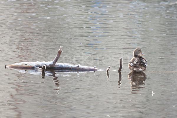 Anatra seduta ramo lago legno natura Foto d'archivio © Juhku
